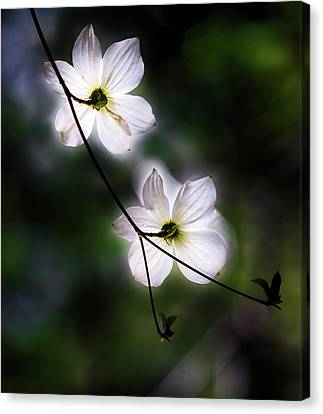 Blooming Dogwoods In Yosemite 2 Canvas Print by Larry Marshall