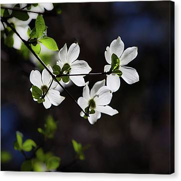 Blooming Dogwoods In Yosemite 4 Canvas Print by Larry Marshall