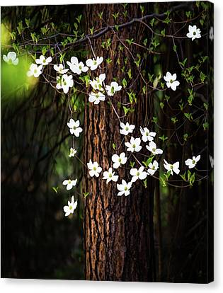 Blooming Dogwoods In Yosemite Canvas Print by Larry Marshall