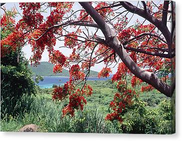 Blooming Flamboyan Tree Tamarindo Bay  Culebra Island  Puerto Rico Canvas Print by George Oze