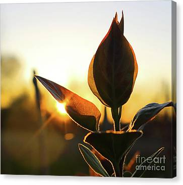 Blooming Lilac At Sunset Canvas Print