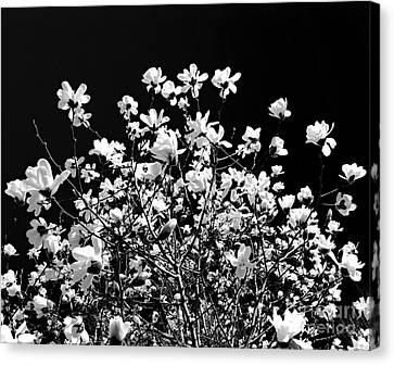 Blooming Magnolia Tree Canvas Print by Elena Elisseeva