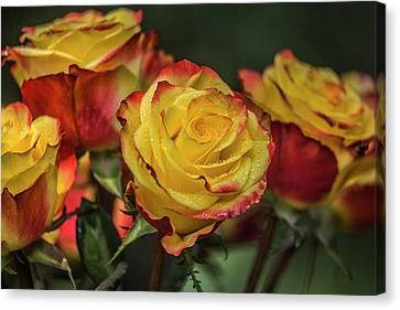 Oh My God It's Another  Rose Image Canvas Print by Betsy Knapp