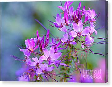 Canvas Print featuring the photograph Blooming Phlox by Alana Ranney