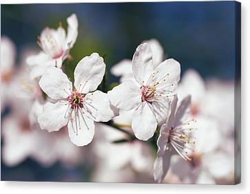 Blooming Plum Tree  Canvas Print