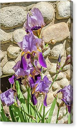 Canvas Print featuring the photograph Blooming Purple Iris by Sue Smith