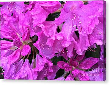 Blooming Rhododendron Canvas Print