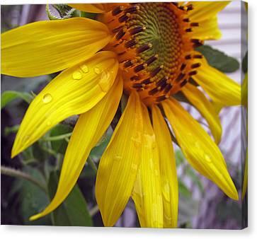 Blooming Sunflower Canvas Print by Barbara McDevitt