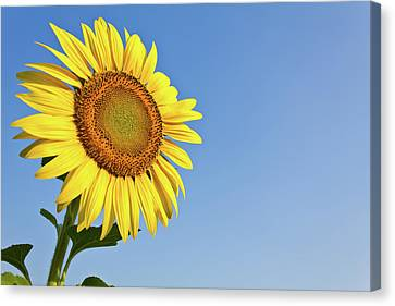 Blooming Sunflower In The Blue Sky Background Canvas Print