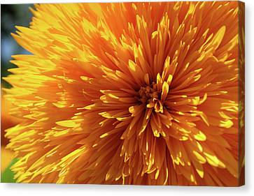 Canvas Print featuring the photograph Blooming Sunshine by Marie Leslie