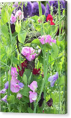 Blooming Sweet Peas Canvas Print by Tim Gainey