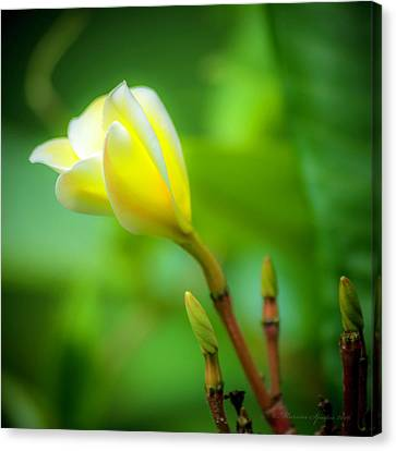 Blooming Yellow Canvas Print by Marvin Spates