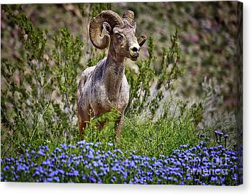 Blooms And Bighorn In Anza Borrego Desert State Park  Canvas Print by Sam Antonio Photography