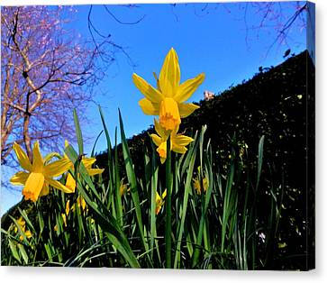 Blossom And Narcissus  Canvas Print