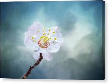 Blossom In Fog Canvas Print