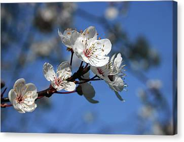 Blossom Canvas Print by Martina Fagan