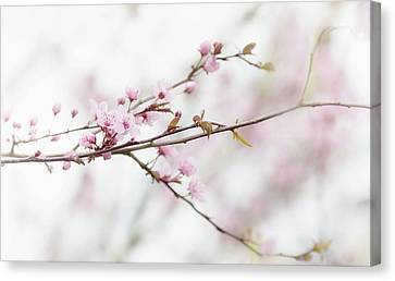 Canvas Print featuring the photograph Blossom Pink by Rebecca Cozart
