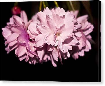 Blossom Canvas Print by Svetlana Sewell