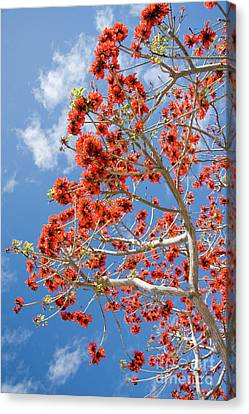 Blossoming Coral Tree Canvas Print by Julia Hiebaum