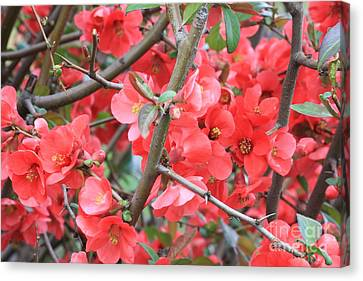 Blossoms Branches And Thorns Canvas Print by Carol Groenen