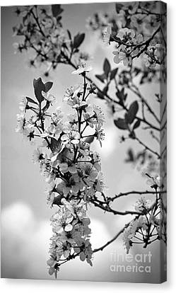 Blossoms In Black And White Canvas Print by Sue Stefanowicz
