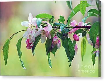 Canvas Print featuring the photograph Blossoms In Spring by Lila Fisher-Wenzel
