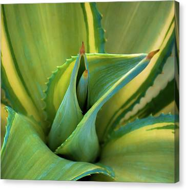 Blue Agave Canvas Print by Karen Wiles