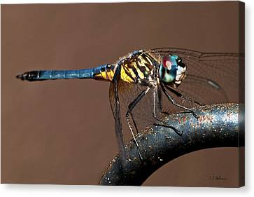 Blue And Gold Dragonfly Canvas Print by Christopher Holmes