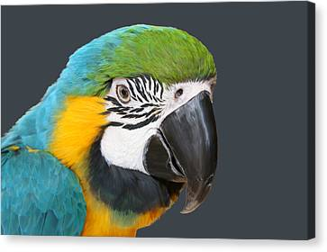 Blue And Gold Macaw Canvas Print - Blue And Gold Macaw Digital Freehand Painting by Ernie Echols