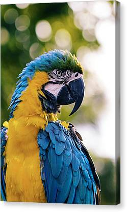 Blue And Gold Macaw Canvas Print - Blue And Gold Macaw by Happy Home Artistry