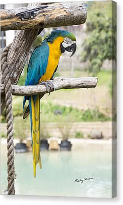 Blue And Gold Macaw Canvas Print by Ricky Dean