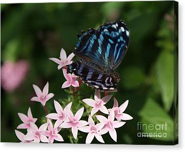 Blue And Pink Make Lilac Canvas Print