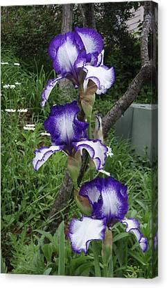 Blue And White Iris Monet Like Canvas Print