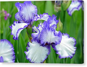 Canvas Print featuring the photograph Blue And White Iris by Rodney Campbell