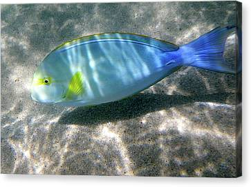Blue And Yellow Hawaiian Reef Fish Canvas Print by Erika Swartzkopf