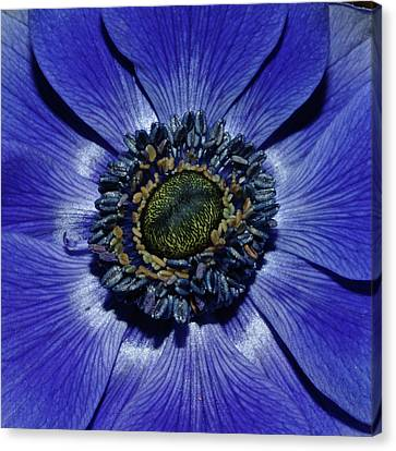 Blue Anemone Canvas Print by Robert Shard