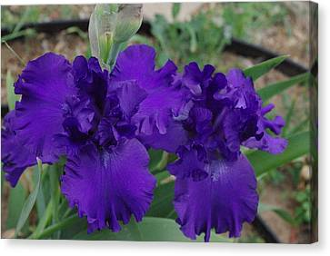 Canvas Print featuring the photograph Blue Bearded Irises by Robyn Stacey
