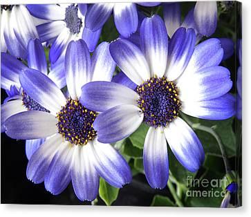 Blue Bi-color Pericallis Senetti Canvas Print by Dorothy Lee