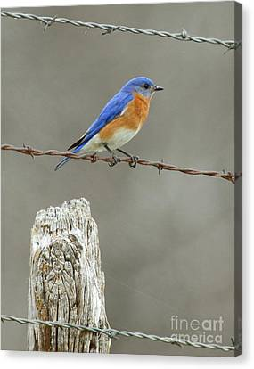 Blue Bird On Barbed Wire Canvas Print by Robert Frederick