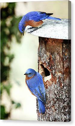 Blue Birds Are Moving In Canvas Print