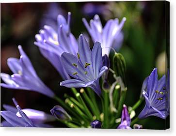 Canvas Print featuring the photograph Blue Blossoms by Richard Stephen