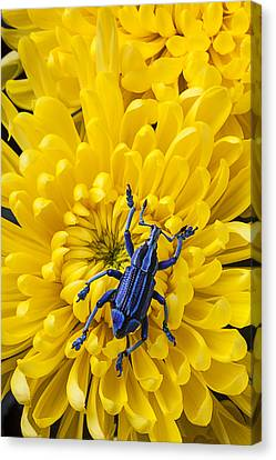 Blue Bug On Yellow Mum Canvas Print by Garry Gay