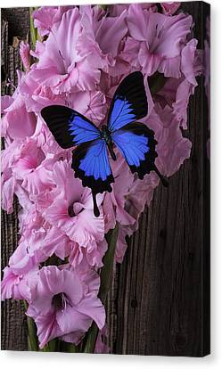 Blue Butterfly On Glads Canvas Print