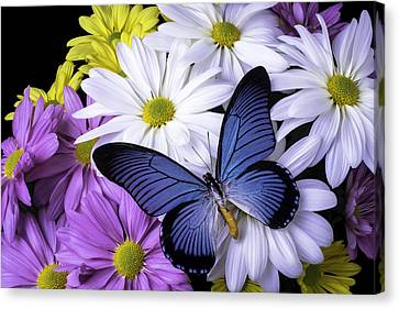 Butterflies Canvas Print - Blue Butterfly On Mixed Mums by Garry Gay