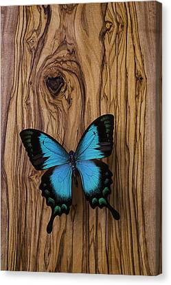 Blue Butterfly On Wood Grain Canvas Print by Garry Gay