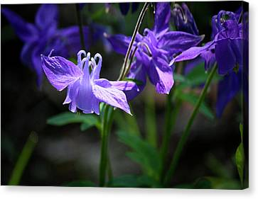Blue Columbines Canvas Print by Teresa Mucha