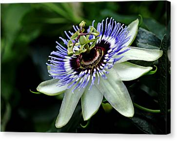 Blue Crown Passion Flower Canvas Print by Debbie Oppermann