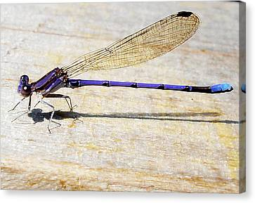 Canvas Print featuring the photograph Blue Damselfly by Margie Avellino