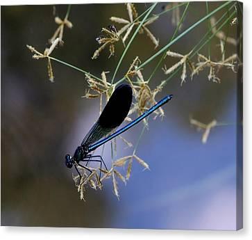 Blue Damsfly Canvas Print