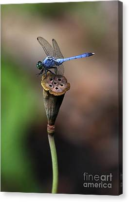 Blue Dragonfly Dancer Canvas Print by Sabrina L Ryan